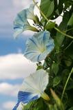 De bloesems van de ochtendglorie in schaduwen van blauw en wit stock fotografie