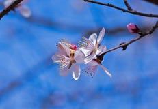 De bloesems van de perzik in de lente royalty-vrije stock afbeelding