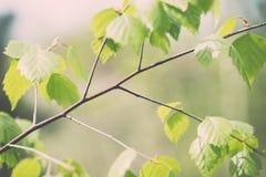 de bloesems van de pijnboomboom in de lente - uitstekend effect Royalty-vrije Stock Fotografie
