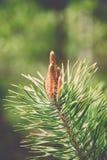 de bloesems van de pijnboomboom in de lente - uitstekend effect Stock Fotografie