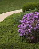 De Bloesems van Rhododenron stock afbeelding