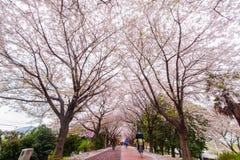 De bloesemseizoen van de de lentekers, Busan, Zuid-Korea royalty-vrije stock foto