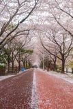 De bloesemseizoen van de de lentekers, Busan, Zuid-Korea royalty-vrije stock foto's