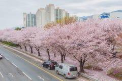 De bloesemseizoen van de de lentekers, Busan, Zuid-Korea royalty-vrije stock afbeelding