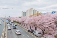 De bloesemseizoen van de de lentekers, Busan, Zuid-Korea stock foto's