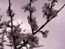 De bloesemstak van de de lenteñ herry boom  met bloemen stock foto's