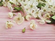 De de bloesemversheid van de kersenschoonheid kan op een roze houten achtergrond, de lente ontwerpen Royalty-vrije Stock Afbeeldingen