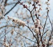 De blomstra aprikosträdfilialerna, slut upp, mot den blåa himlen Arkivfoto