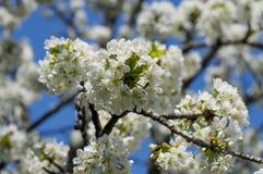 De blomstra filialerna av ett fruktträd, vår som blomstrar tid Arkivbilder