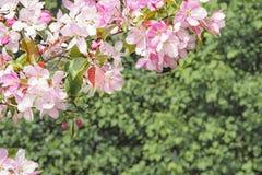 De blomstra filialerna för orientalisk körsbär Arkivbild