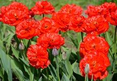 De blomstra röda frottétulporna, kvalitet ABBA Arkivbild