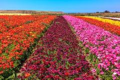 De blomstra smörblommorna - ranunculus Arkivfoton