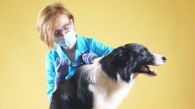 De blonde dierenarts verdooft een hond door een injectie stock footage