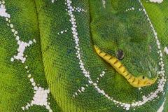 De boa van de het bassinboom van Amazonië/Corallus-batesi Stock Fotografie