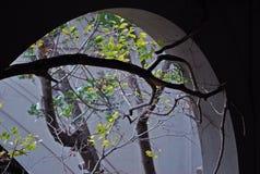 De bochtige tak gaat in de verlaten bouw binnen door boogvenster Stock Afbeelding