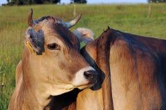 De bodem van een andere koe Royalty-vrije Stock Afbeeldingen
