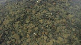 De bodem van de rivier wordt gezien door water de kleine vissen zwemmen in een ondiepe stroom van een kreek stock videobeelden