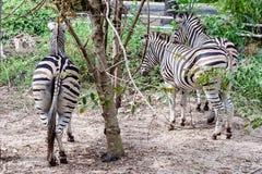 De bodem van zebra in de aard royalty-vrije stock foto