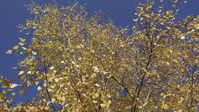 De bodemmening over een berk gele bladeren tegen de achtergrond van de blauwe hemel in de herfst zonnige dag stock footage