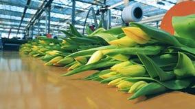 De boeketten van gele tulpen bewegen zich langs de vervoerder stock videobeelden