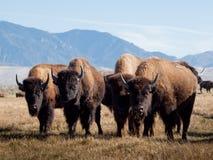 De Boerderij van buffels Royalty-vrije Stock Afbeelding