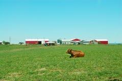 De Boerderij van het vee Stock Foto's