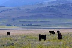 De boerderij van het vee Stock Foto