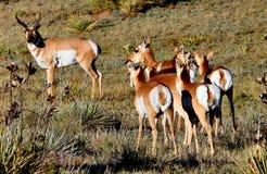 De Bok van de Antilope van Pronghorn & Royalty-vrije Stock Afbeeldingen