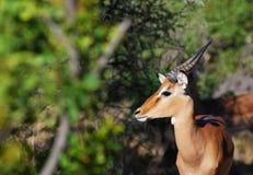 De Bok van de impala Stock Foto's