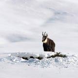 De bok van gemzen in de sneeuw Stock Foto