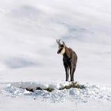 De bok van gemzen in de sneeuw Stock Afbeelding