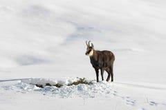 De bok van gemzen in de sneeuw royalty-vrije stock afbeelding