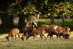 De bok van Mouflon stock afbeeldingen