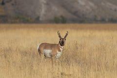 De Bok van de Pronghornantilope in Gras royalty-vrije stock fotografie