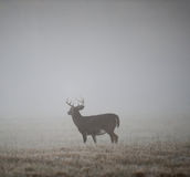 De bok van Whitetail in mist stock foto