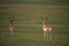 De Bokken van de Antilope van Pronghorn royalty-vrije stock foto's