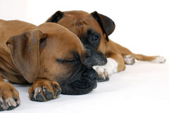 De Bokser van het puppy met Vader Royalty-vrije Stock Foto's