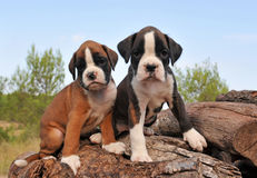 De bokser van puppy Royalty-vrije Stock Foto's