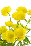 De bol-bloem. Royalty-vrije Stock Afbeeldingen