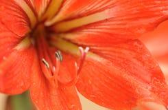 De bollen van de amaryllis royalty-vrije stock afbeeldingen