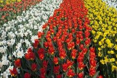 De Bollen van de lente in Nederland Stock Afbeeldingen