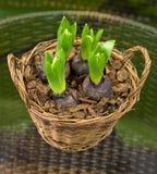 De bollen van de tulp Royalty-vrije Stock Fotografie