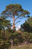 De bomen die van de pijnboom door de rivier groeien Royalty-vrije Stock Foto
