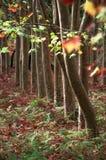 De Bomen en de Bladeren van de daling Stock Afbeeldingen