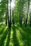 De bomen en de zon van de berk Stock Afbeeldingen