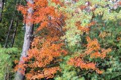 De bomen met Daling kleurden Bladeren Stock Afbeelding