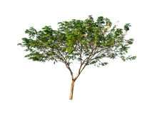 De bomen op witte achtergrond worden geïsoleerd die Royalty-vrije Stock Foto's