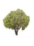 De bomen op witte achtergrond worden geïsoleerd die Royalty-vrije Stock Foto