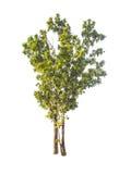 De bomen op witte achtergrond worden geïsoleerd die Royalty-vrije Stock Fotografie