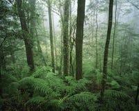 De bomen van Australië in regenwoud Royalty-vrije Stock Fotografie